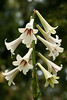 Giant Himalayan lily (Cardiocrinum giganteum) (smir_001 (on/off)) Tags: flowers summer white canada flower green june gardens vancouver garden giant botanical university lily britishcolumbia ubc lilies himalayan liliaceae giganteum trumpetshaped cardiocrinum