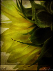 Sunflower in texture (Nancy Violeta Velez) Tags: texture geotagged photography flickr sunflower itg interesing artistictreasurechest joessistah sunflowerintexture