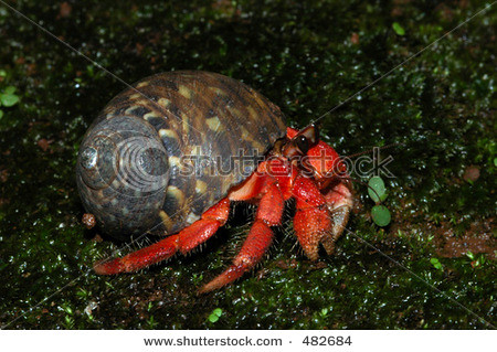 stock-photo-red-land-hermit-crab-coenobita-rugosa-from-the-south-coast-of-java-island-indonesia-482684