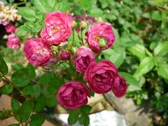 mini rosas (amaralis) Tags: pink flowers brazil flores flower rose brasil garden rosa minirose minirosa