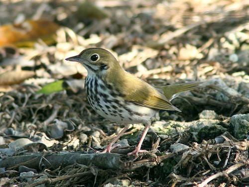 Ovenbird 20100926
