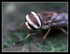 Horse Fly's Eye (RAMASUBRAMANIYAN) Tags: macro eye fly sigma olympus sigma105mm olympuse510