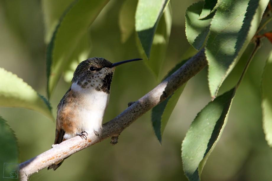 Allen's Hummingbird 09101001