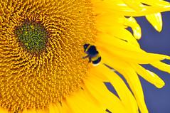Sunflower & Bee (Simon Downham) Tags: blue orange sun flower yellow buzz petals backyard nikon bright stamens petal bee honey stamen sunflower worker blaze pollen nikkor bumble 70300 blazing d90