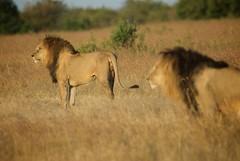 Big Brothers (Dave Schreier) Tags: africa two david male field grass dave kenya mara lions huge beast serengeti powerful masai schreier wwwdlsimagescom