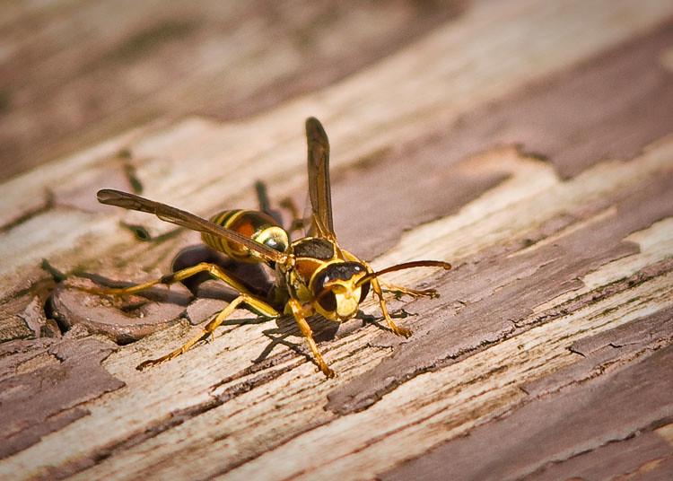 Wasp Macro Sml