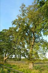 Landweg mit Bumen (ThomasKohler) Tags: old tree germany deutschland alt natur baum mecklenburg stamm baumstamm mritznationalpark mueritznationalpark mritzsee mueritzsee