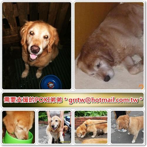 「支援助認養」從竹北收容所救出的黃金獵犬POKI弟弟~基本健檢OK~似有髖關節問題,懇請贊助醫療資源,也徵助認養喔~隨手幫忙轉PO也是非常重要~謝謝您!20100930