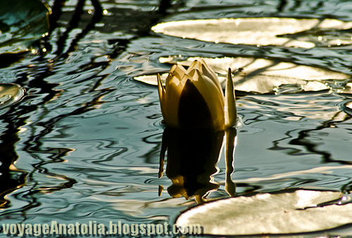 Nymphs & Water Lilies at Lake Abant by voyageAnatolia.blogspot.com