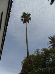 The tallest palm tree in the world (adele.turner) Tags: morocco palmtree bahia marrakech marrakesh stucco zellij bahiapalace zellijtiling tadalektplaster