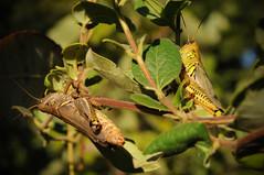 Melanoplus grasshoppers courting (Sam Martin (abikeOdyssey)) Tags: mountain tree leaves turkey insect bush branches trails brush mating grasshopper tulsa ok arthropod melanoplus
