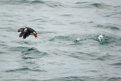 Puffin (martinstelbrink) Tags: island iceland puffin papageientaucher a700 sigma120400mmf4556