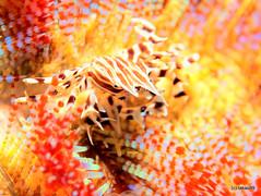 Zebra crab (_takau99) Tags: ocean trip travel sea vacation bali holiday fish macro uw water topv111 pen indonesia underwater crab diving olympus september zebra scubadiving komodo 2010 takau99 zebracrab zebridaadamsii penlite adamsii epl1 zebrida