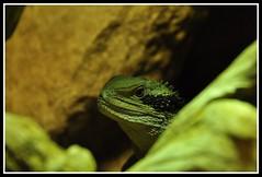 Kop leguaan (Christel Schoepen) Tags: groen natuur reptiel mywinners