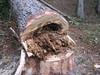 gefährlichen Baum entfernen