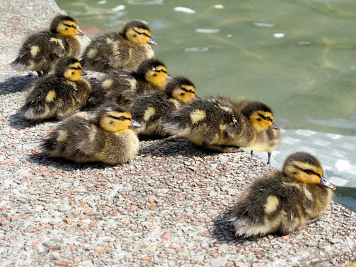 ten little ducklings