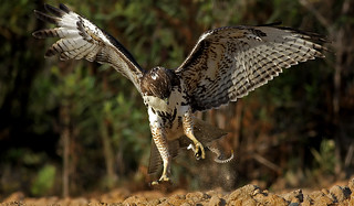 Red-tailed Hawk VS Rattlesnake