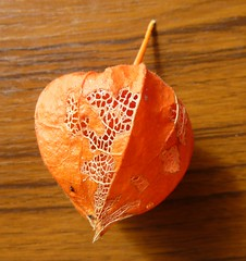 Chinese Lantern plant seed case