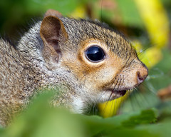 Juvenile Squirrel (Andrew Haynes Wildlife Images ( away for a while )) Tags: nature fur mammal wildlife whiskers coventry warwickshire brandonmarsh canon7d ajh2008