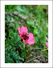Delicate Flower (Raheel Adnan) Tags: pink pakistan wild flower macro green nature grass little tiny delicate adnan raheel concordians