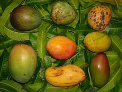 MANGO COMPARISON  #2: 8 Varieties  /  (BOTANY PHOTO OF THE DAY  #8) (3Point141) Tags: india fruit florida exotic mango tropical amba aam tropicalfruit exoticfruit rarefruit alphonso anacardiaceae mangiferaindica soai mangifera 3point141