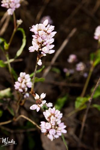 pinkflowervine