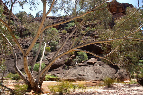 river redgum by the creekbed