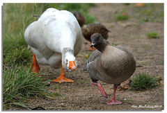 Geese (AMKs_Photos) Tags: pink bird nature birds animal canon river photography eos scotland wildlife goose aberdeen dee anser amk footed pinkfootedgoose brachyrhynchus 450d amksphotos