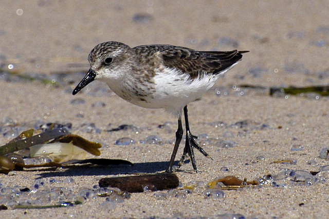 semipalmated sandpiper webbed
