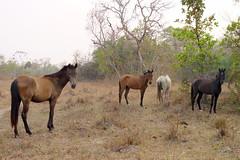 "Chevaux de race ""pantaneira"" (Sophie Labelle) Tags: brazil horse brasil cheval matogrosso pantanal brsil chevaux pantaneira"