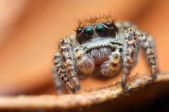 Exploring an Oak Leaf (Mundo Poco) Tags: arizona macro canon spider bokeh jumpingspider salticidae mpe65mm santaritamountains eos450d habronattus arachind mtwrightson rebelxsi josephinesaddle habronattuspugillis