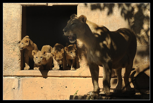 1001_loc_Lions1