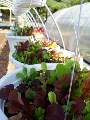 Pots with Mixed Lettuce