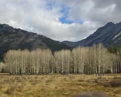 Stand of White (jah32) Tags: autumn canada mountains fall nature scenic alberta banffnationalpark