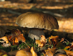 Autumn is golden (Wilma1962*) Tags: fall mushroom herfst paddenstoel paddestoel autunm pennybun eekhoorntjesbrood boletusedulis mygearandmepremium mygearandmebronze
