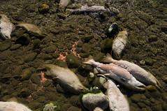 Mission Accomplished (clickarmy) Tags: salmon sockeyesalmon adamsriver spawningsalmon salmonstream adamsriversockeye salutetothesockeye oncorhynchusnerka adamsriversockeyesalmon britishcolumbiasalmon adamsriversalmon spawningsockeye roderickhaigbrownprovincialpark
