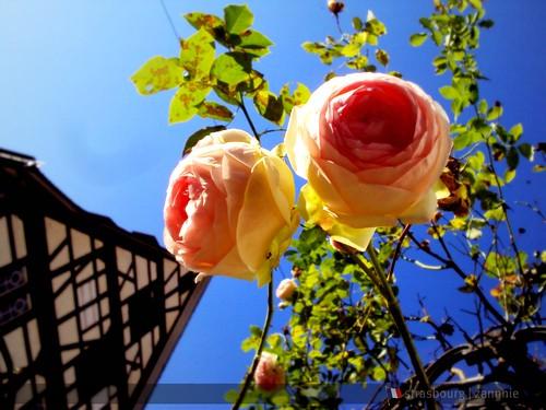 Roses in Strasbourg, France