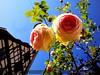 Roses 玫瑰花 méi guī huā