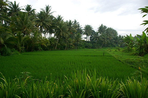 the hotel's rice paddies