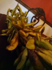 soybean closeup