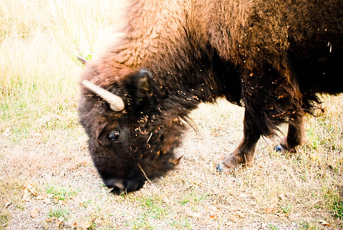 buffalo-0493