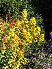 Pineapple sage, Willow-leaved Sunflower, and Aster
