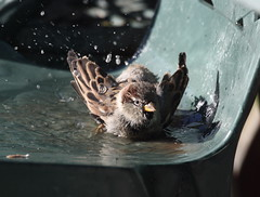 Chair bath [Explored] (bojangles_1953) Tags: bird nature water birds wildlife sparrow bathing housesparrow 100400mml 1000d