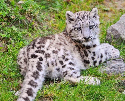 フリー写真素材, 動物, 哺乳類, ネコ科, 豹・ヒョウ, 雪豹・ユキヒョウ,