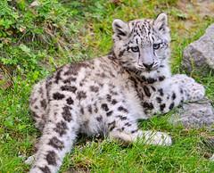 [フリー画像] 動物, 哺乳類, ネコ科, 豹・ヒョウ, 雪豹・ユキヒョウ, 201011011100