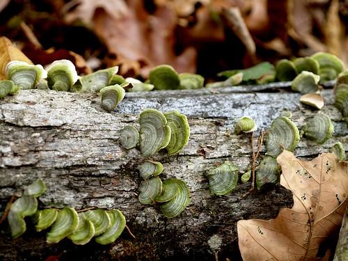 Shawnee Fungi