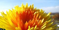 "High - Day . Hoch-Feiertag:  Festum Omnium Sanctorum, El Da de Todos Los Santos, La Toussaint, ""  All Saints' Day     "", Solemnity of All Saints and also called All Hallows or Hallowmas (eagle1effi) Tags: flowers flower nature fauna canon germany favoriten deutschland flora flickr bestof dof photos who natur blumen selection powershot foliage fotos fiori blume fiore supermacro chrysanthemum tuebingen chrysantheme sx1 auswahl yellowandred beste allsaintsday allerheiligen tbingen damncool tubingen wrttemberg badenwuerttemberg selektion waldhuserost goldandred latoussaint tubinga bridgecamera lieblingsbilder festumomniumsanctorum eagle1effi byeagle1effi naturemasterclass ae1fave eldadetodoslossantos gelbundrot yourbestoftoday canonpowershotsx1is sx1isbest supermacroon2 solemnityofallsaints canonpowershotsx1isreferenceshot dibenga stadttbingen beautifulcityoftubingengermany beautifulcityoftbingengermany tagesbeste dibeng tubingue"
