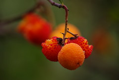 Autumn's fruit (A. Morales ) Tags: autumn red espaa orange mountain tree fall fruit arbol spain rojo strawberry sony andalucia fruta otoo alpha naranja malaga madroo strawberrytree montes fruto a230 montesdemalaga