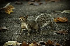 On the road (cliccath) Tags: road autumn london animal automne squirrel route londres stjamesspark constitutionhill sigma70300mmf456dgmacro canoneos40d ecureuil cliccath ~explore~ cathschneider
