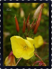 A bit of sunshine to brighten our day (Patricia Speck) Tags: red portrait flower yellow woodland woods bokeh framed frame buds tricia patricia speck